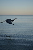 Silhouette of a Great Blue Heron in Naples Royalty Free Stock Photo