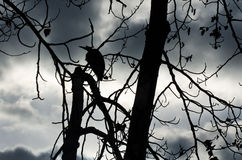 Silhouette of Great Blue Heron Stock Images