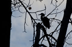 Silhouette of Great Blue Heron Royalty Free Stock Photography