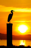 Silhouette of Great Blue Heron at sunset Stock Images