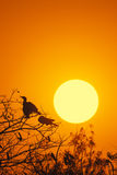 Silhouette Of Great Cormorant with Rising Sun Stock Image
