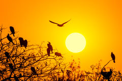 Silhouette Of Great Cormorant with Rising Sun Stock Images
