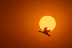 Silhouette Of Great Cormorant with Rising Sun Royalty Free Stock Photo