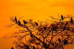 Silhouette Of Great Cormorant and Tree with Sunrise Royalty Free Stock Images