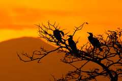 Silhouette Of Great Cormorant and Tree with Sunrise Stock Images