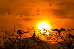 Silhouette Of Great Cormorant and Tree with Sunrise Stock Photo