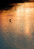 Silhouette of great white egret at sunrise i Stock Photos
