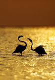 Silhouette of Greater Flamingo during sunrise Stock Photo