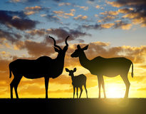 Silhouette Greater kudu. At sunset Stock Photography