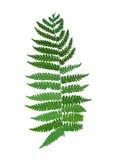 Silhouette green fresh fern, vector plant sign. Illustration Stock Photo