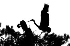 Silhouette of Grey Heron large chicks in the nest Stock Photography
