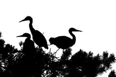 Silhouette of Grey Heron large chicks in the nest Royalty Free Stock Image