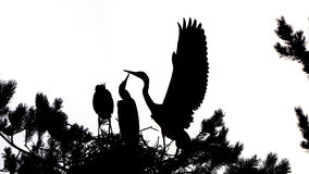 Silhouette of Grey Heron large chicks in the nest Royalty Free Stock Photo