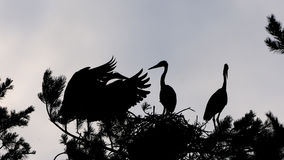 Silhouette of Grey Heron large chicks in the nest Stock Image