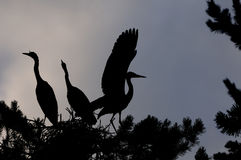 Silhouette of Grey Heron large chicks in the nest Stock Photo