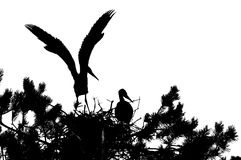 Silhouette of Grey Heron large chicks in the nest Stock Images