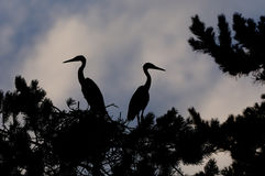 Silhouette of Grey Heron large chicks in the nest Royalty Free Stock Images