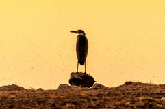Silhouette of a grey heron a sunset at a waterhole in Northern N Stock Photos