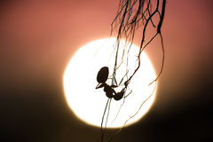 Silhouette of a hanging ant with sunset in the background Royalty Free Stock Photos