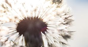 Silhouette of the head of seeds of the dandelion flower in the s Royalty Free Stock Photos