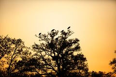 Silhouette of herons Royalty Free Stock Images