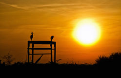 Silhouette of Herons at Sunset. Silhouette shot of Herons sitting watching the Sunset Stock Image