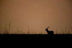 Silhouette, Hog deer or deer with beautiful heather . royalty free stock photos