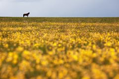Silhouette of a horse on the horizon Royalty Free Stock Photo