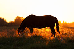 Silhouette of a horse on a pasture in rim light Royalty Free Stock Image