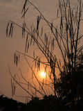 Silhouette of Horse radish tree, Drumstick (Moringa Oleifera Lam.) Stock Image