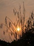 Silhouette of Horse radish tree, Drumstick (Moringa Oleifera Lam.) Royalty Free Stock Photography