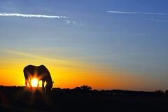 Silhouette of a horse at sunrise Royalty Free Stock Images