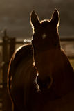 A silhouette of a horse. A surreal photo of a horse in the dust with backlighting. The sun sets behind the horse making a magnificent silhouette Stock Images