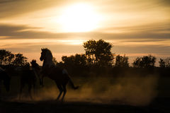 Silhouette horses. Horses playing at sunset in the Netherlands Stock Image