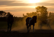 Silhouette horses. Playing in the Netherlands at sunset Stock Image