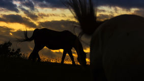 Silhouette of Horses. A silhouette of horse with sunset in background Stock Images