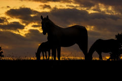 Silhouette of Horses. A silhouette of horse with sunset in background Royalty Free Stock Photos
