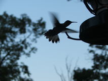 Silhouette of a Hummingbird. Hummingbird at a feeder at twilight Stock Photography
