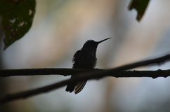 Silhouette of a hummingbird. Hummingbird They are among the smallest of birds, most species measuring 7.5–13 cm 3–5 in in length stock photography