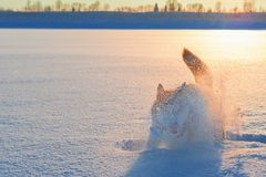 Silhouette husky dog in cloud snow dust in the sunset. stock images
