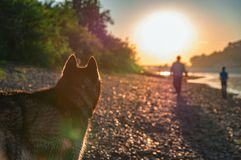 Silhouette husky dog looking at the setting evening sun over the river. Siberian husky walks by the river on warm unny evening. stock photo