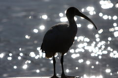 Silhouette of Ibis bird and water. Silhouette of Australian White Ibis bird against sparkling water background Stock Photo