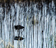 Silhouette of an ibis in the grasses of a marsh Stock Images