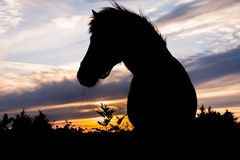 Silhouette of a Icelandic horse in sunset back light. Beautiful portrait of the silhouette of a Icelandic horse in orange  evening sunset with stripes of clouds Stock Photo