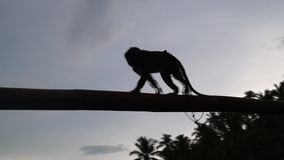 Silhouette image of a captive monkey crawls along a bamboo pole. Full length stock footage