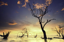 Silhouette image of death mangrove three at the beach during sunset and tide water. Stock Photography