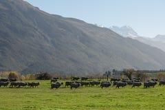 Silhouette image of Merino Sheep Stock Images