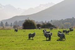 Silhouette image of Merino Sheep Stock Image