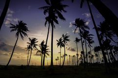 Silhouette image of palm tree during sunrise sunset. Stock Image