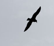 Silhouette Of Irish Sea Bird. Flying over water Royalty Free Stock Images
